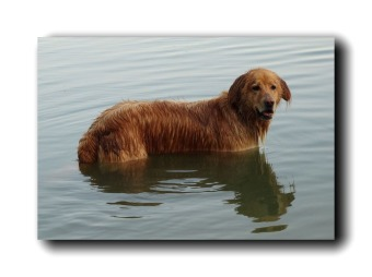 Anibal-Affiliates-RealtyNetWorth-Lake-Shannon-wet-dog-retriever.1